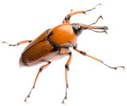 Escarabajo picudo